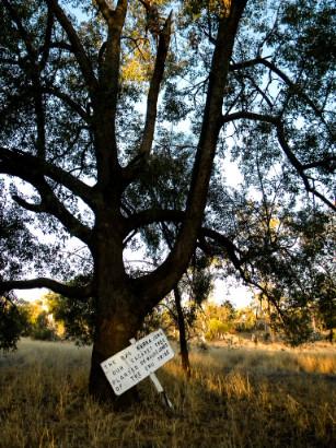 Sacred Kurrajong Tree Bottom Yumba